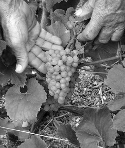 champagne-grape-price