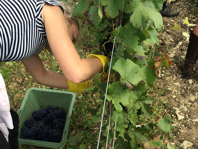 champagne-harvest-2014-handpicking